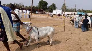 Cute pungunuru cow at cattle fair in rajahmundry