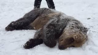 Японский экстрасенс усыпил медведя Тиму