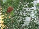 Gardening Plant Care : Bottlebrush Plant Care