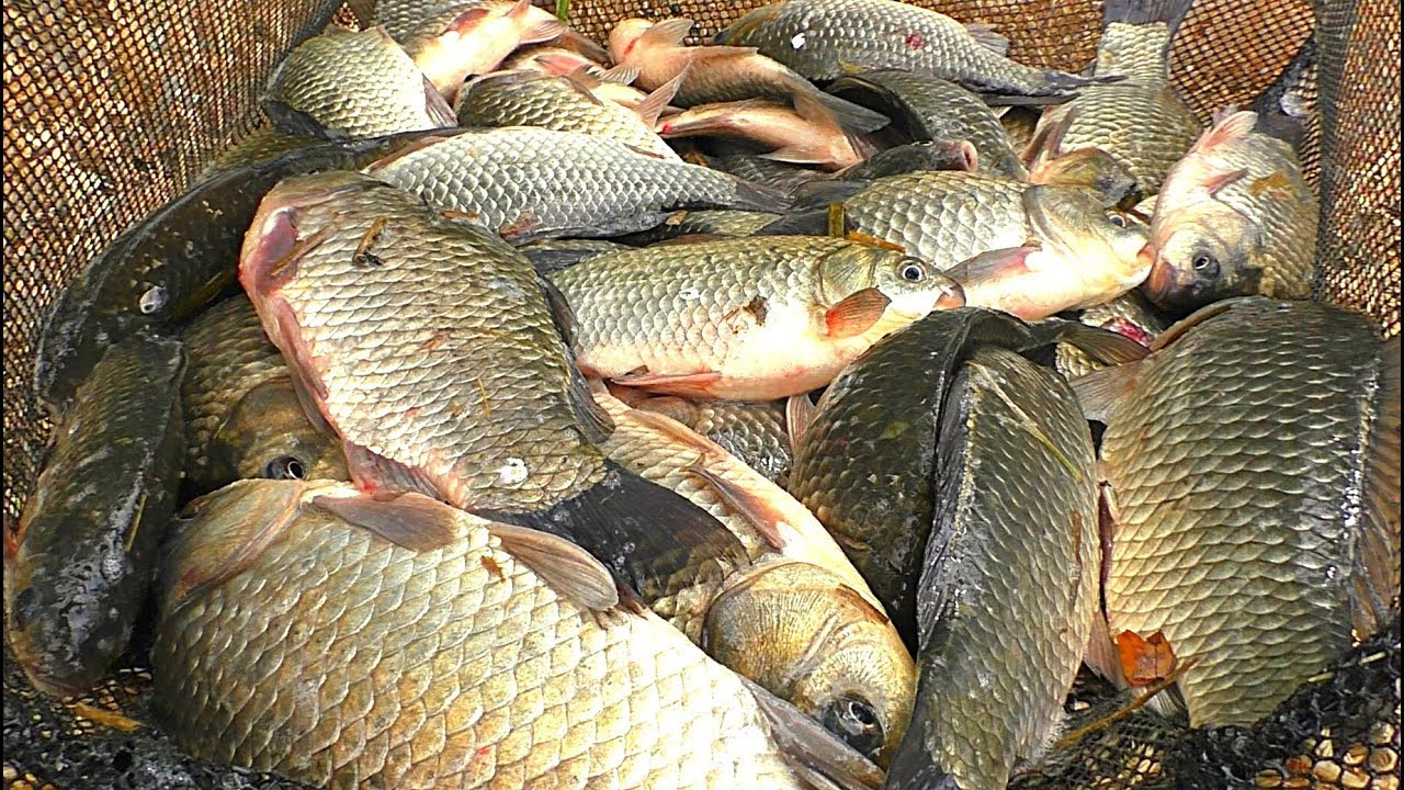 Рыбалка.крупный карась на удочку