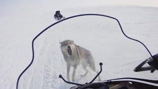 трейлер СТЕПНЫЕ ОХОТНИКИ 4, охота на волка (Wolf hunting)