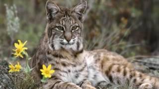 Леснов  Рассказы о животных  Рысь 1 часть.  читает Павел Беседин