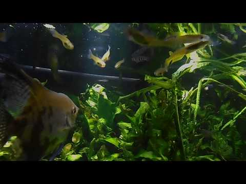 182 Golden Wonder  Killifish Hunting    Aplocheilus Lineatus