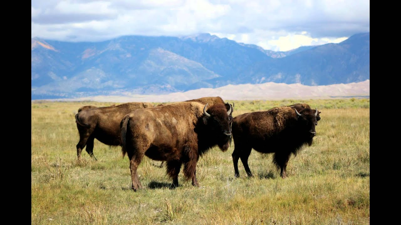 Bison ranch