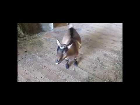 Goat Scream Karaoke