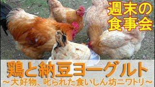 鶏と納豆ヨーグルト~大好物の食事会、食いしん坊ニワトリが叱られる~ thumbnail