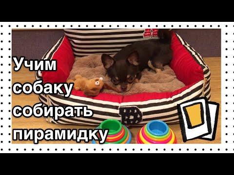 Как научить собаку собирать пирамидку