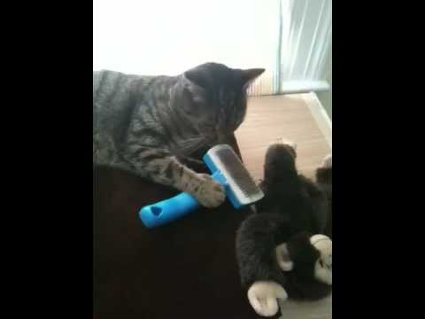 Cat Video! My Very Smart Cat Brushing Herself