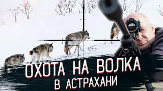 Охота на волка на приваде видео, кадры попадания и выстрелы по волку