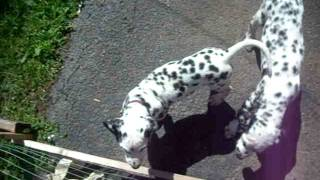 Mia The Dalmatian: Adieu Jewel