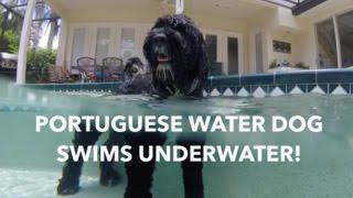 Swimming Underwater! | Bentley the Portuguese Water Dog