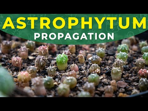 Astrophytum propagation from seeds, care for seedlings