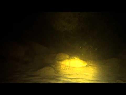 Рыба на Ладожском озере