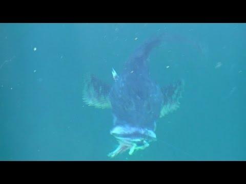 WA Fish Quest EP 26: Great Sculpin