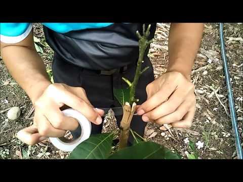 Cara Cantuman Baji Pokok Mangga | Kebun Bandar