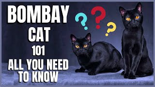 Bombay Cat 101 : All You Need To Know