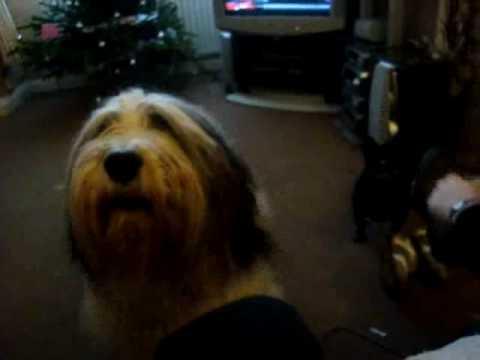Snoopy the Polish Lowland Sheepdog wants his breakfast