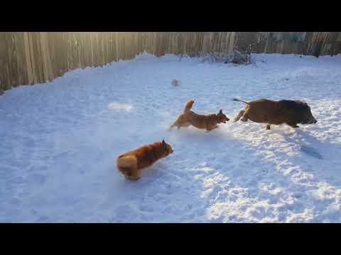 Карело-финская лайка притравка на кабана