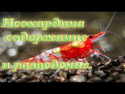 Аквариумные креветки содержание и уход. Креветки неокардины.