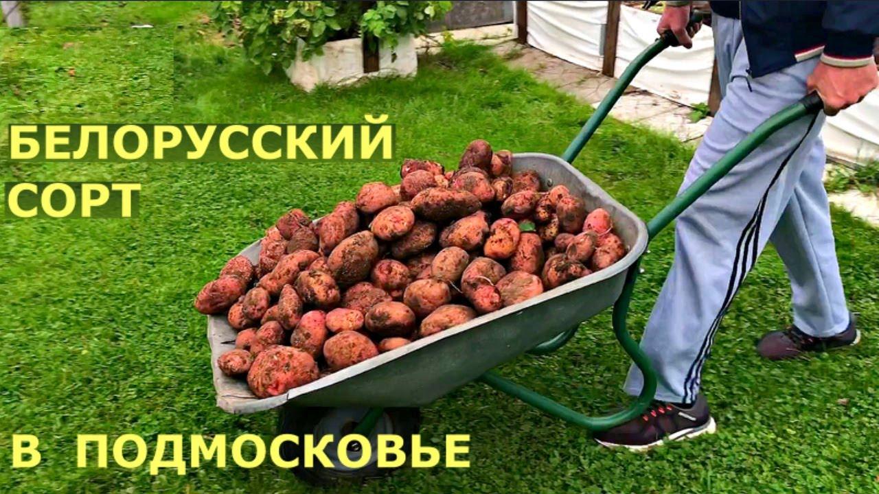 Картофель ЖУРАВИНКА. ЛУЧШИЙ УРОЖАЙ на грядке