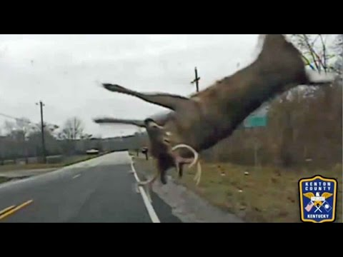 Police Footage Shows How To React When A Deer Crosses The Road