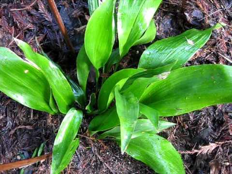 Cast Iron Plant in my Garden