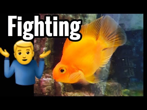 Parrot Fish Attacking Other Fish - Fighting Aggressive