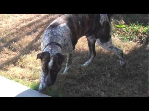 Trevor, Heeler/Pit Mix available for adoption, Lake Dallas Animal Shelter, TX