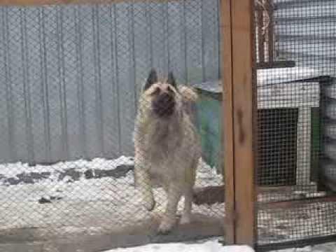 Карагандинская собака-танцевака танцует и без музыки. Просто - для души. :)))))