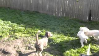 Standard Poodle Versus Labradoodle