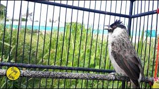 Suara Kutilang Gacor AMPUH untuk Pancing Kutilang Jantan dan Pikat Semua Burung Liar