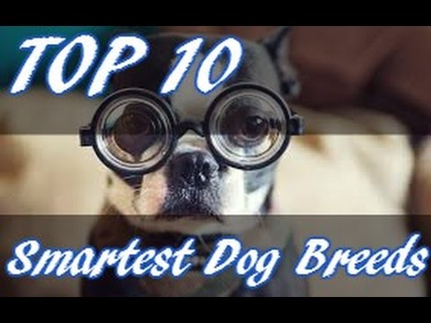 10 Dog Breeds That Might Be Smarter Than YOU!?