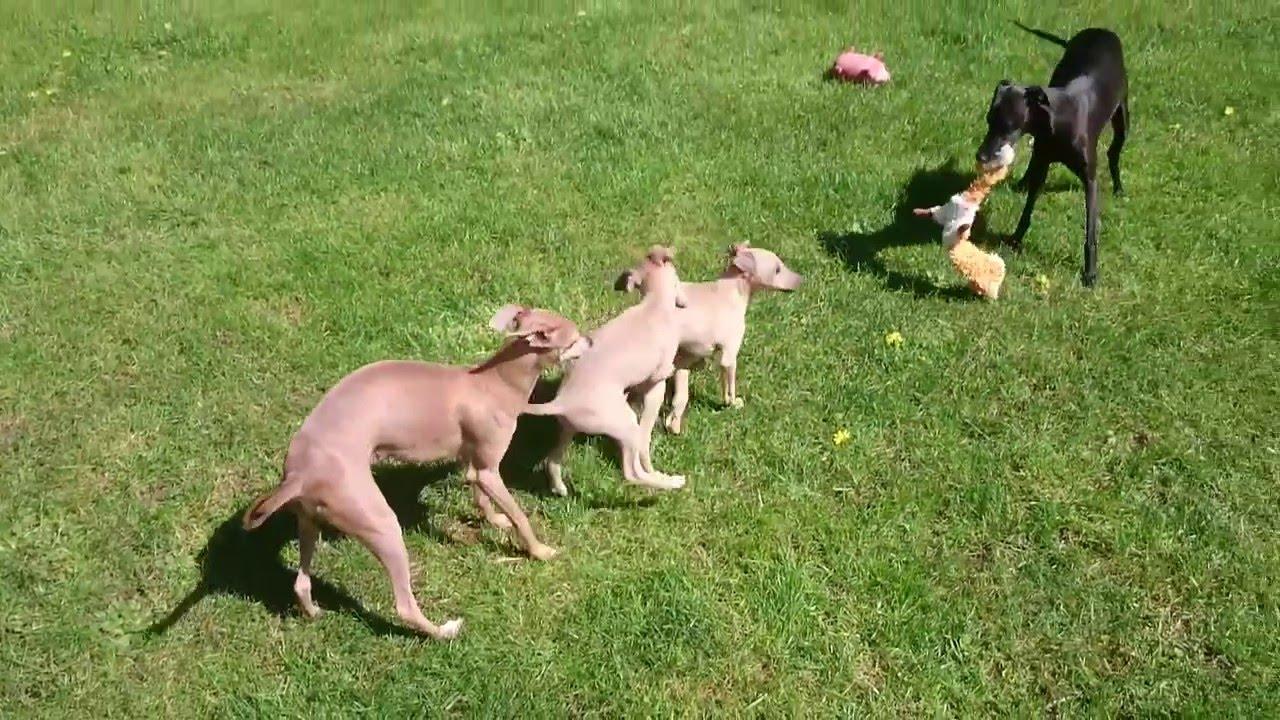 20a5f9c83ef Italský chrtík. Italian Greyhound.Taliansky chrtík. - YouTube