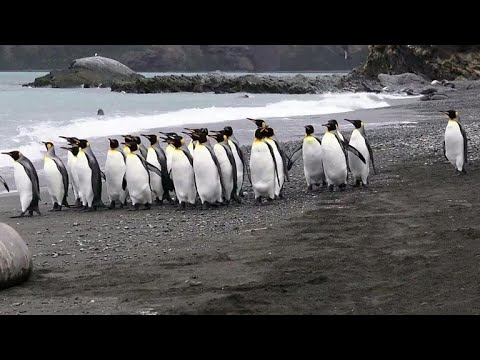 Antartica's King Penguins Could Face Extinction As A Result Of Overfishing, Climate Change