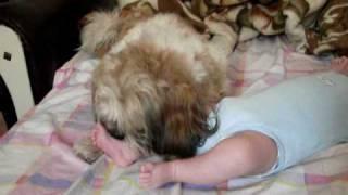 The Shih Tzu Licking (washing) A Baby Boy