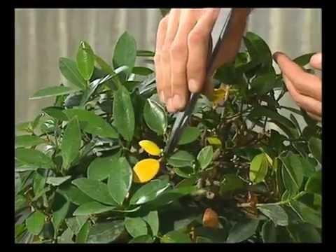 Pagineverdibonsaiit La Potatura Estiva Del Ficus Formosana Youtube