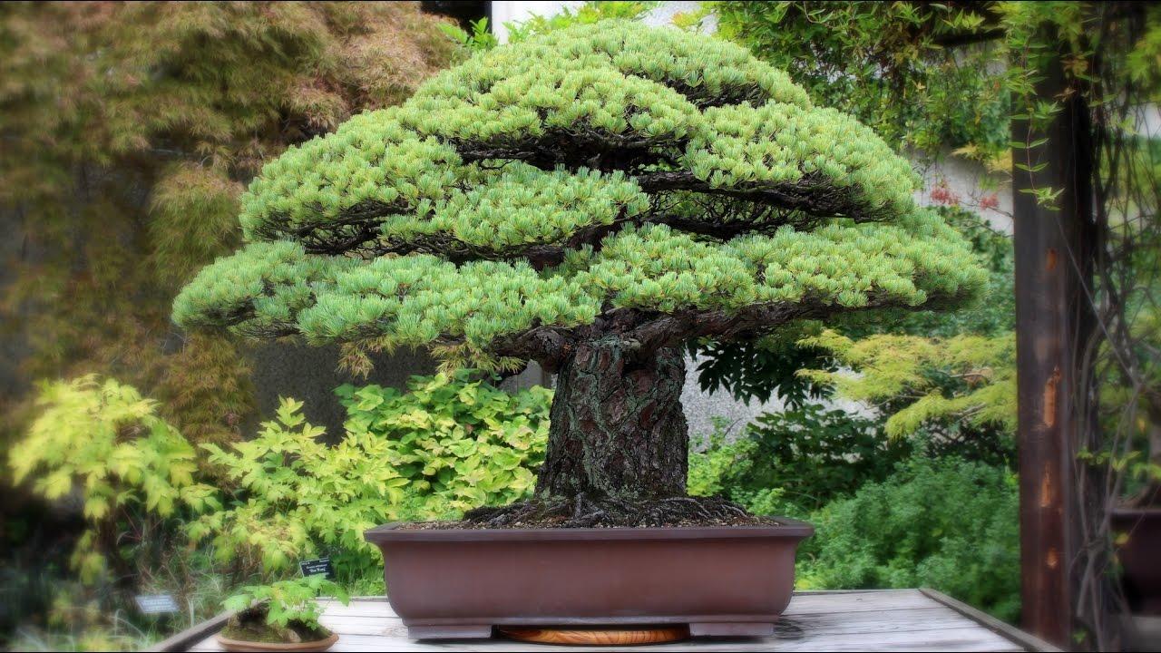 Yamaki Pine Bonsai, the Hiroshima survivor