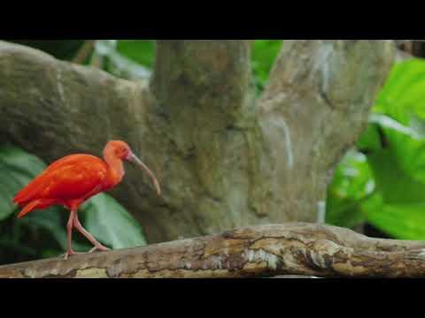 Full Audiobook: The Scarlet Ibis - James Hurst - My Lector Series #10