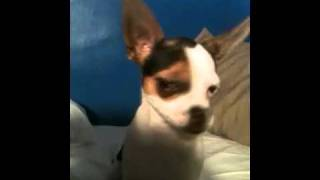 Paco di bango dog