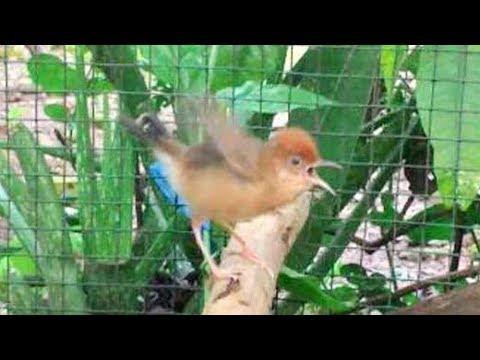 Kicauan Burung Cici Padi Si Mungil Bersuara Unik