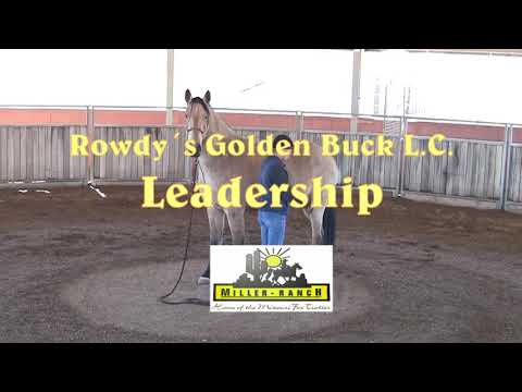 Rowdy´s Golden Buck l.C. - Missouri Fox Trotter - Leadership