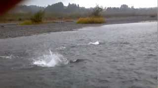 Eel River salmon run