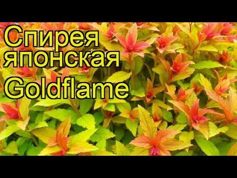 Спирея японская Голдфлейм. Краткий обзор, описание характеристик spiraea japonica Goldflame