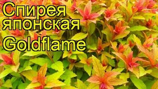 видео Спирея японская Spiraea japonica Goldflame (Голд Флейм)