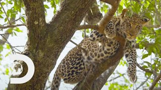 Leopard Cub Hides In Treetops Away From Feral Baboons! | Big Cat Tales
