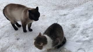 Коты дерутся. Сиамский кот.