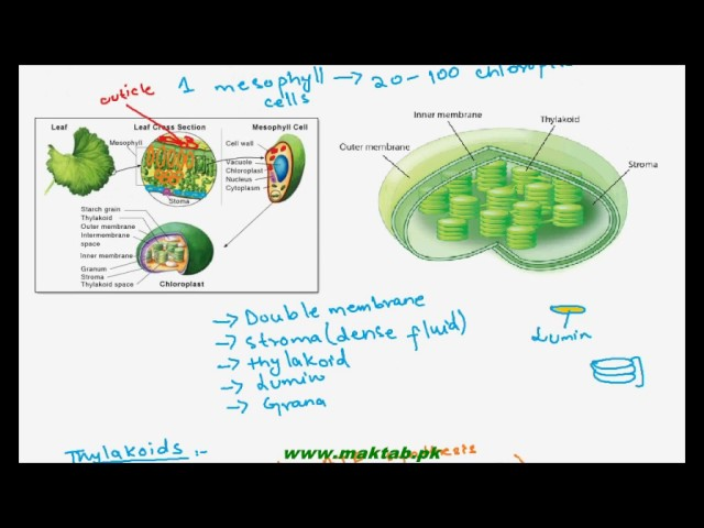 FSc Biology Book1, CH 11, LEC 3: Role of Chloroplasts and Photosynthetic Pigments in Photosynthesis