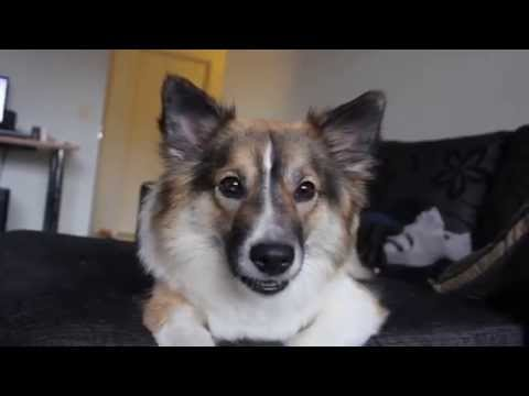Quick-witted Icelandic Sheepdog