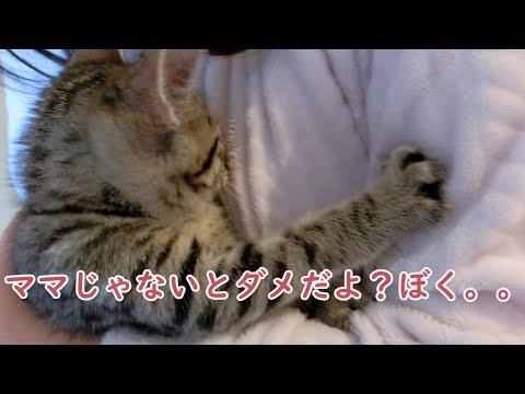 チューチュー甘えるのはどうしてもママがいい子猫のビビ Kittens that I really want to mom
