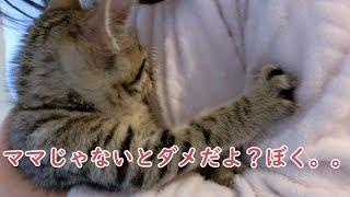 チューチュー甘えるのはどうしてもママがいい子猫のビビ Kittens that I really want to mom thumbnail